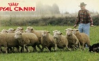 Concours de chien de berger sur troupeaux