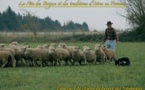 Concours de chien de bergers sur troupeaux