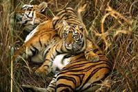 Monde: cinq tigres dans son jardin et autres news