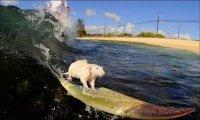 Insolite: les souris font du surf