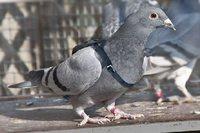 Divers: concours de beauté pour pigeons