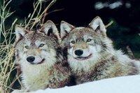 J'ai vu le loup, le chaperon et Very Bad Trip 2