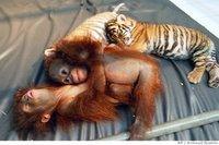 Deux bébés tigres adoptés par une chienne et autres infos
