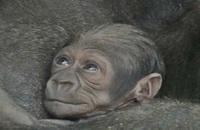 Actu Sciences: Naissance en captivité d'un bébé singe d'une espèce rarissime