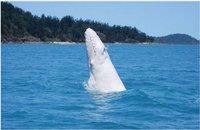 Le baleineau blanc très rare