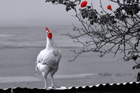 Défiscalisation, effraction et poulets d'élevage