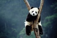 Le thé de panda