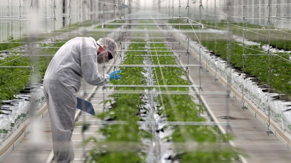 France : le gouvernement autorise l'expérimentation du cannabis