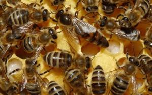 Brexit : 15 millions de bébés abeilles pourraient être saisis