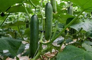 7 excellentes raisons de manger du concombre