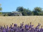 Lavande sauvage en Haute Provence