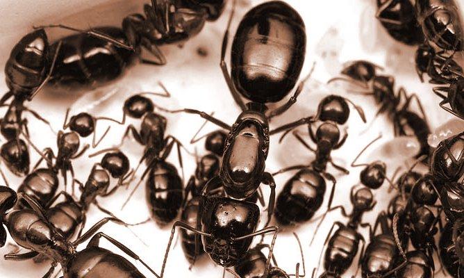 Vigilance contre la prédation des fourmis