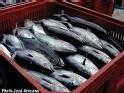 Auchan ne vend plus de thon rouge dans ses hypermarchés en France.