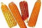OGM: remous après la décision de suspendre les cultures de maïs