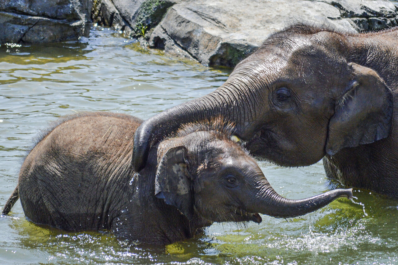 Le Zimbabwe va vendre les droits de chasse d'éléphants menacés d'extinction