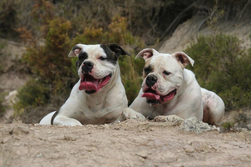 Le Bouledogue Americain, un chien au grand coeur
