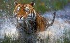 Monde: Sept tigres s'échappent d'un zoo et autres news