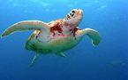 Une tortue géante repêchée en Méditerranée