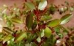 Santé: des antiviraux dans les plantes