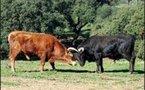 les taureaux de combat avant l'arène