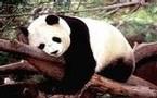 Actu Monde : Mort de Ling Ling, l'unique panda appartenant au Japon