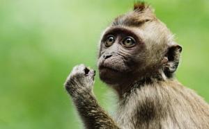Insolites: macaque en vadrouille et autres news