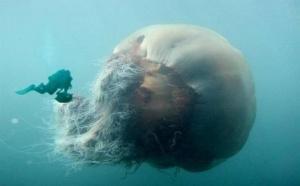Sciences: la méduse géante