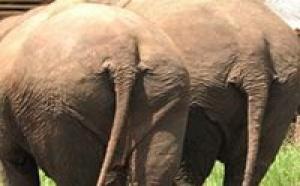 Sciences: les éléphants sauveront la planète