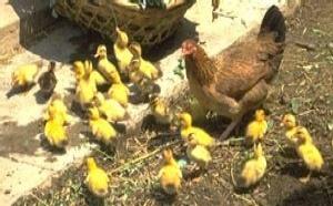 Grippe aviaire: L'ONU fait le point