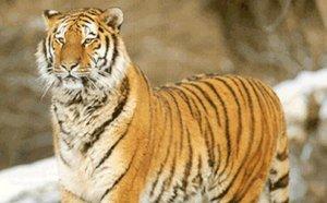People: la tigresse fauve