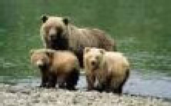 Hautes Pyrénées, du verre dans des pots de miel pour tuer l'ours