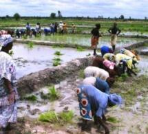 SENEGAL-AGRICULTURE-ELEVAGE-PERSPECTIVES-CASAMANCE : UNE MÉTHODE INNOVANTE DE CULTURE RIZICOLE EN PHASE D'EXPÉRIMENTATION